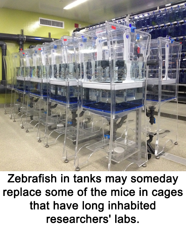 Zebrafish in tanks may someday replace some of the mice in cages that have long inhabited researchers' labs.
