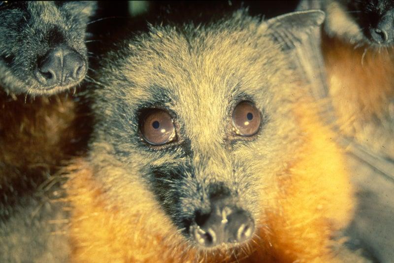 Fruit bat portrait