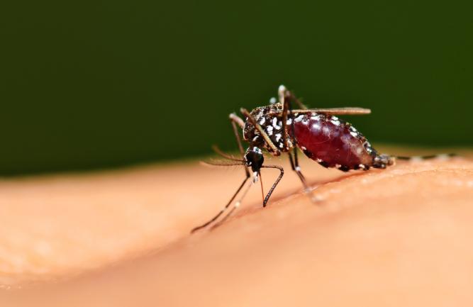Mosquito sucking blood from beneath human skin