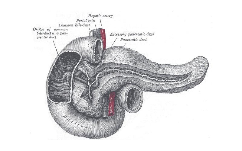 Illustration of the human pancreas