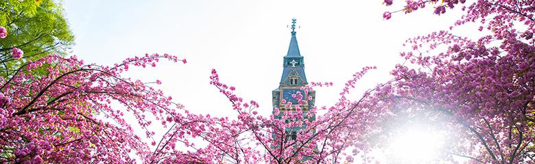 Cherry blossoms frame a view of Dahlgren Chapel